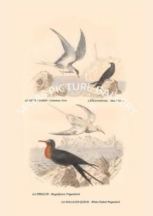 Common Tern, Black Tern, Magnificent Frigatebird, White-Tailed Tropicbird